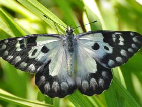 Spotted Jezebel  Delias aganippe