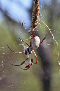 Golden Orb-weaving Spiders, Nephila edulis