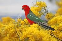 Australian King Parrot male Alisterus scapularis