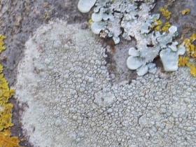 Ochrolechia sp Saucer or Crab's-eye Lichen